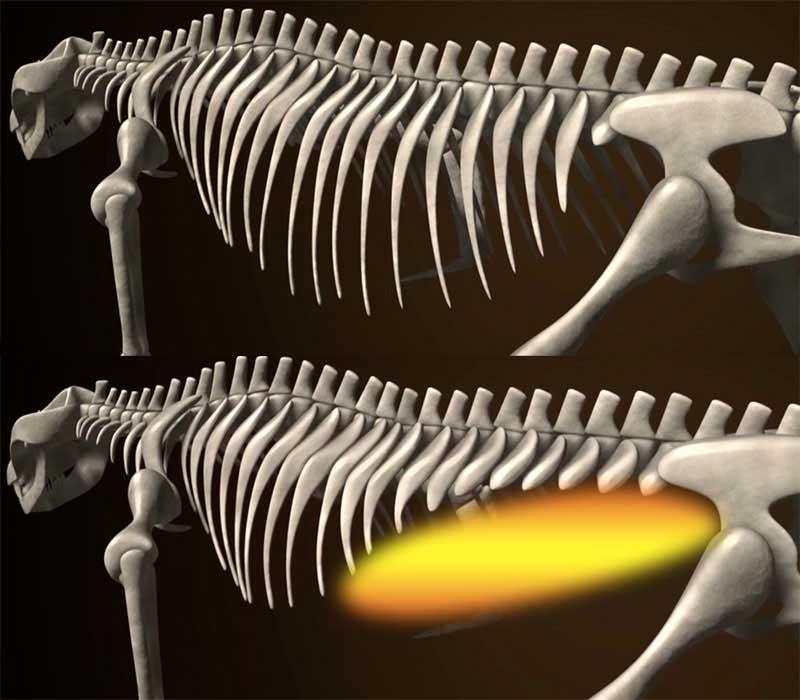 体幹と肋骨