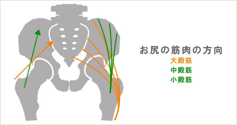 臀筋の筋繊維の方向